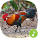 Download Appp.io - Red jungle fowl crowing 1.0.3 APK