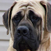 Download English Mastiff Wallpapers 1.0 APK
